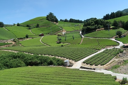 和束町 石寺の茶畑